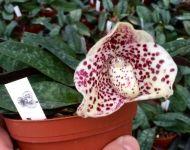 nosorchidees6
